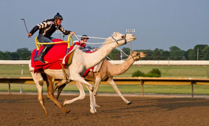 Here Are 10 Unique Day Trips In Iowa That Are An Absolute Must-Do: Cheer on the underdog at a camel race in Altoona, IA