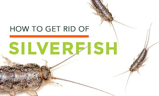 17 best ideas about silverfish on pinterest roach killer natural mosquito repellant and. Black Bedroom Furniture Sets. Home Design Ideas