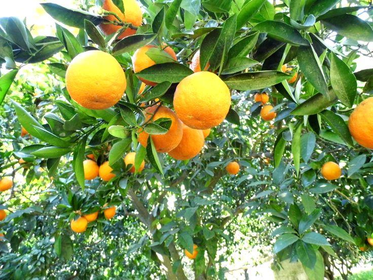 Orange Tree by Sevtap Özdemir