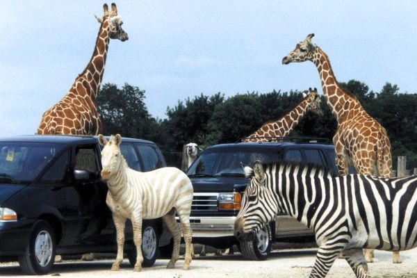 African Wildlife Safari, Ohio. It's all fun and games until the long-horned cattle see that you have carrots and come running up to your car.