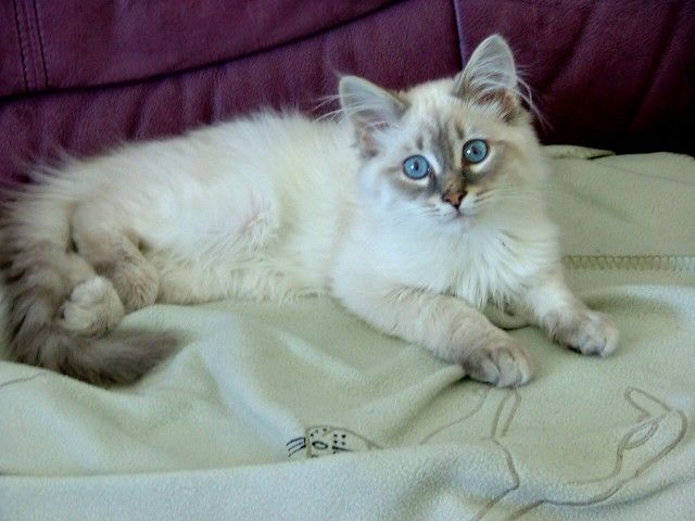 Pictures of Siberian Kittens   ... Imported Siberian Cat and Kitten Breeder, Siberian Kittens For Sale