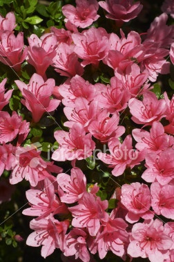 Azalea bushes-in front of house or on the side between us and the neighbor's yard? Bloom in the spring.
