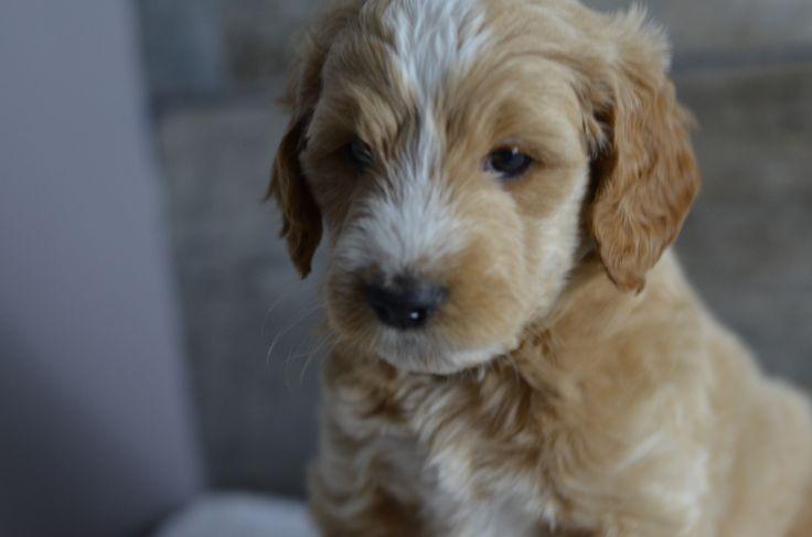 Medium, Mini & Petite Goldendoodle Puppies for sale in