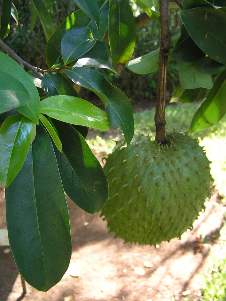"Soursop also contains vitamin C & several B vitamins such as thiamin, riboflavin and #niacin, along with #calcium, phosphorus &a small amount of iron. Widely promoted (sometimes as ""graviola"") as an alternative cancer treatment. There is however no medical evidence that it is effective. Fruit/leaves of the tree to relieve stomach distress, fever, pain & respiratory problems such as cough and asthma. Contains natural substances that have biological activity; fatty compounds called…"