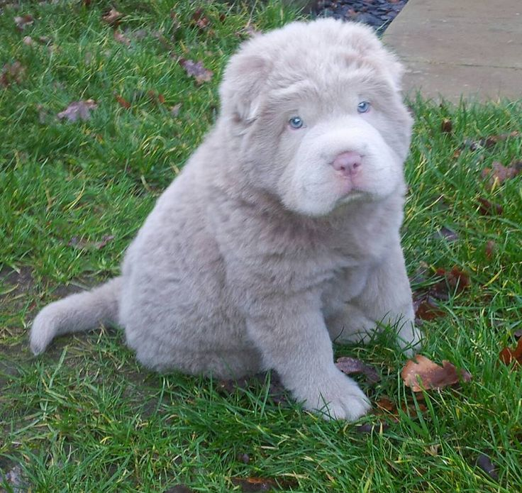 Rare Lillac Color Bear Coat Shar Pei Puppy. I have never seen one of those in my life! They are so cute!