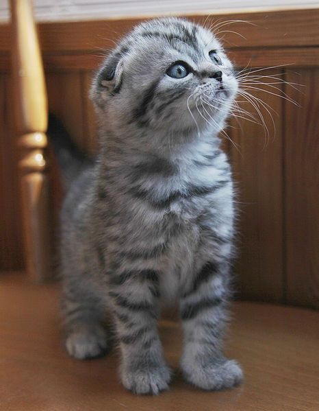 munchkin scottish fold kittens | scottish fold munchkin cat. so adorable. - saw these lil ... | Animals