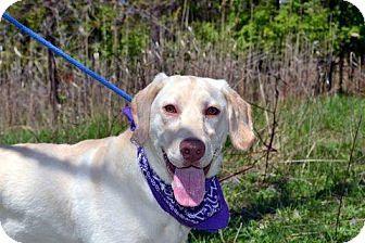 Labrador Retriever Rescue Long Island New York