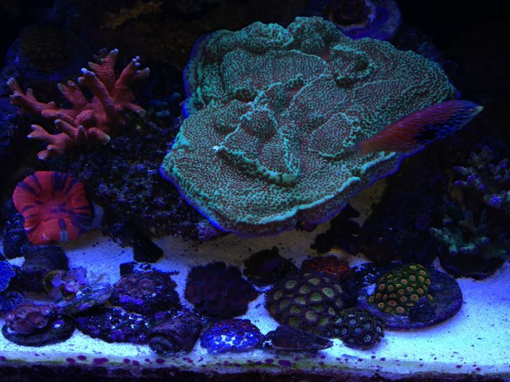 "report:   ""Sicce Team,  Check out these photos of my friends tank.  He uses a Voyager2 and 3 pump, plus HyperKoral twice a week and Calanus feedings daily.    His corals have been growing very well and corals are coloring up since using HyperKoral and Calanus"""