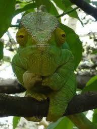 Madagascar gecko!