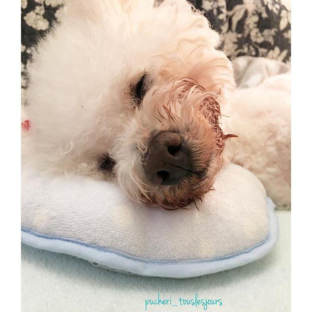 おはよ🐶✨ ばーば、よく眠ってるよ💤  rina_rinaちゃんが、Hermiaばーばに添い寝して「赤ちゃんみたいね💖」って話しかけたり、なでなでしてたりするよ✋🏻🐶✨ 🌿🌿🌿🌿🌿🌿🌿🌿🌿🌿🌿🌿🌿🌿温かいメッセージは読み聞かせたり、覗いてくださってること感謝しています✨✨ お返事遅くなったり、お邪魔出来ききれなかったりしててごめんなさい🙏🙇♀️rina_rina&puckfamily&Hermia💕🌿🌿🌿🌿🌿 #17歳2カ月#16歳2カ月#1歳11カ月#ハイシニア#ビションフリーゼ #多頭飼い #高齢犬 #犬との暮らし #dog#犬の気持ち#愛犬 #可愛い#cute#わんこ部#男の子#わんちゃん#犬#dogslife#高齢犬との暮らし#ふわもふ#シニアドッグ#PMATはPuckfamilymedicalassistanceteam#PMAT本部#PMAT