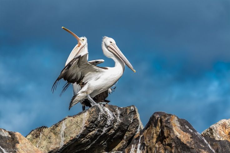 Pelican: 'The Pelicans' by Racheal Christian - Photographed at Eden Wharf in NSW #Photography #Birds #Wildlife #FineArt rachealchristianphotography.com