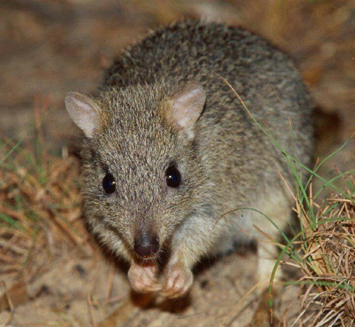 A Northern Bettong (a small kangaroo) Endangered