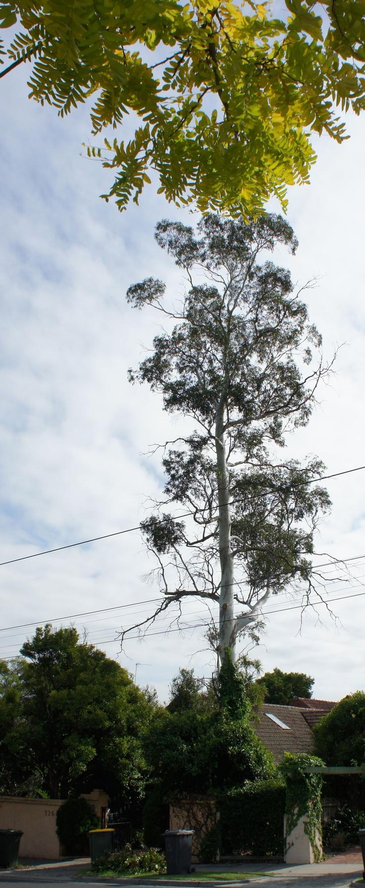 Eucaplyptus in Balaclava Road, North Caulfield. (photo by Victor Perton)