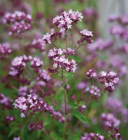 Wild Marjoram - bees and butterflies love it