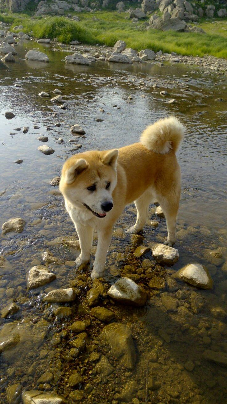 Japanese akita inu | Nami