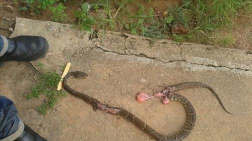 Um acidente ofídico  causado por uma cobra do gênero Jararaca ocorreu na linha catorzinha, munic...