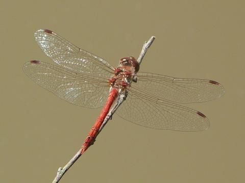 Common Darter: | Nature Notes from Dorset