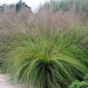 Groen-rode bladeren, ook gebruikt als snijbloem, goed winterhard.
