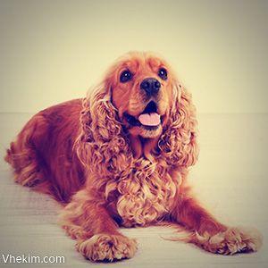 İngiliz Cocker Spaniel ırkı av köpekleri sınıfının en küçük üyesidir ve Amerikan Kennel Club tarafından 1892 yılında kayıt altına alınmıştır.