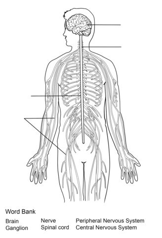 nervous system worksheet coloring page from anatomy category select from 20946 printable crafts of cartoons