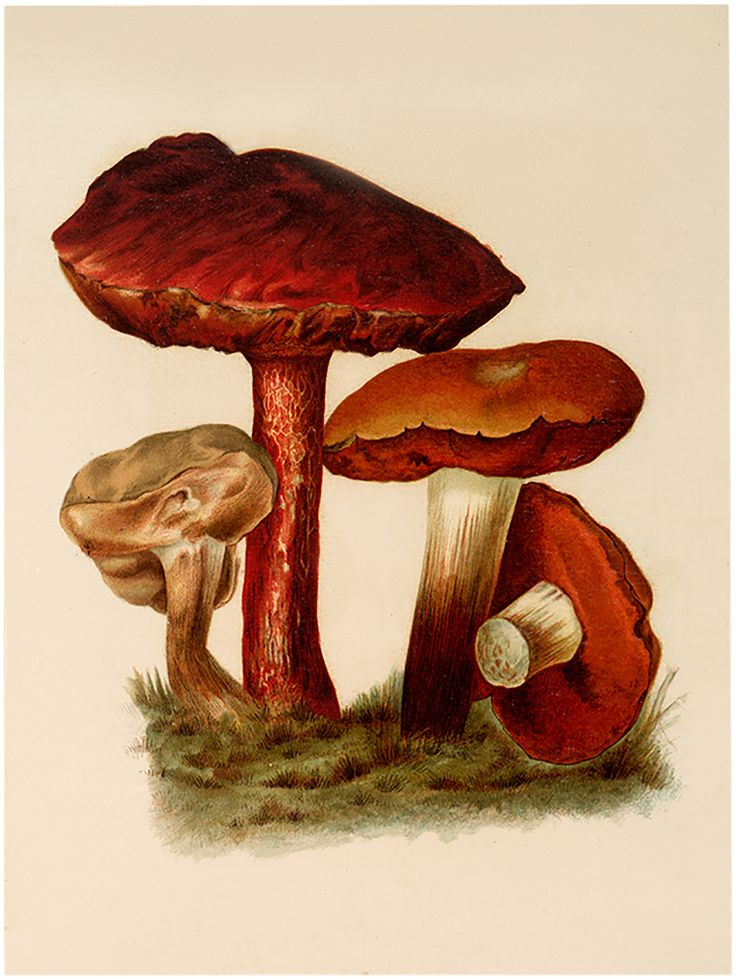 Vintage Brown Mushroom Image - Free from Graphics Fairy