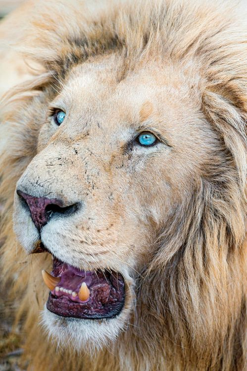 white lion blue eyes inspired by the wild pinterest