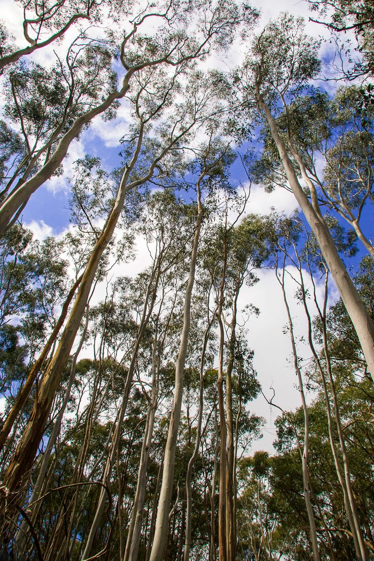 Rare Candle Bark Gum Trees at Sinclairs Gully Winery, near Norton Summit, South Australia