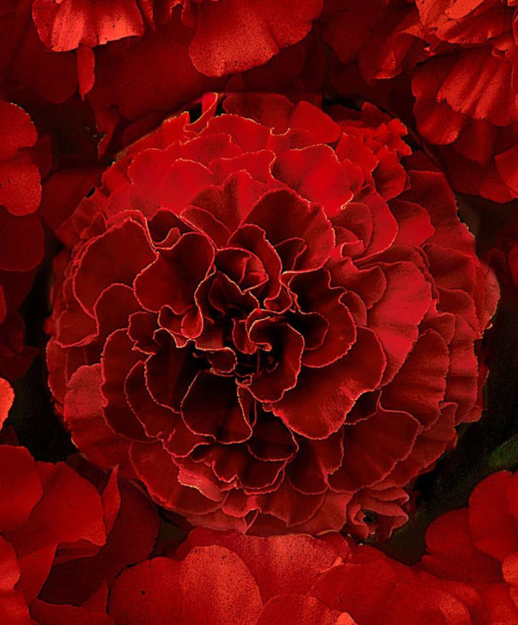 French Marigold 'Solar Red' F1 Hybrid | Seeds from Spalding Bulb