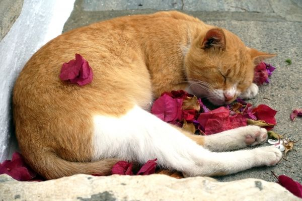 Sleeping cat and bougainvillae