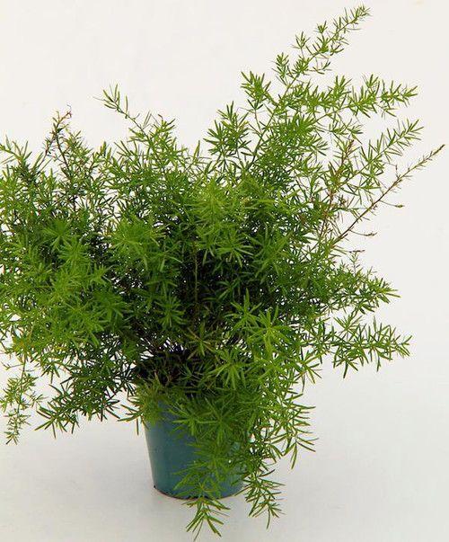 """Asparagus Sprengeri Fern - Asparagus - 4"""""""" Pot - Easy to Grow - Great Houseplant"""