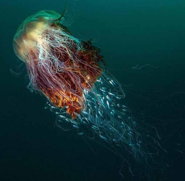 از عجیب ترین و خارق العاده ترین موجودات جهان هستی In 2020 Lion S Mane Jellyfish Lion Mane Amazing Jellyfish