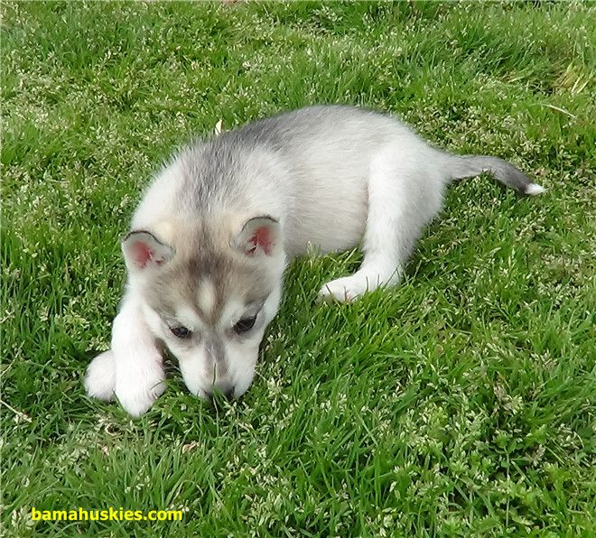 Why Does My Dog Eat Grass Dogs Doglover Pets Cute Husky Puppies