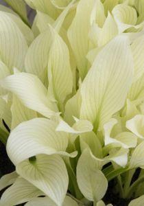 Хоста гибридная Вайт Физер. Очень интересный сорт. Листья сливочно-белые, со временем приобретают зеленоватый оттенок, и тонкие выразительные зеленые полосы. Цветки лавандовые