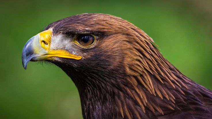 Photograph Steinadler (Aquila chrysaetos) by Michael Weidemann on 500px