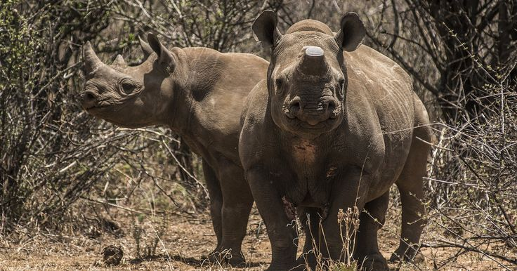 Poaching of African rhinos has increased for the sixth year in a row.