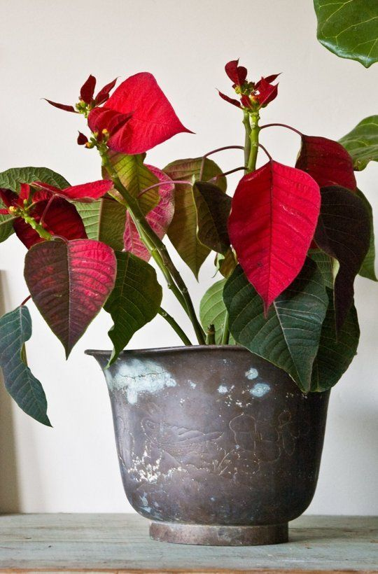 Poinsettias: How to Rebloom, Rather Than Rebuy |   Here's the one slightly tricky part: to rebloom your poinsettia for late December, you'll have to put it in a closet every night starting in late September. Yes, a closet, or box, or any other place that gets no light. Absolute zero — even streetlights can mess it up. Ideally you want the poinsettias to have twelve hours of total darkness per day.