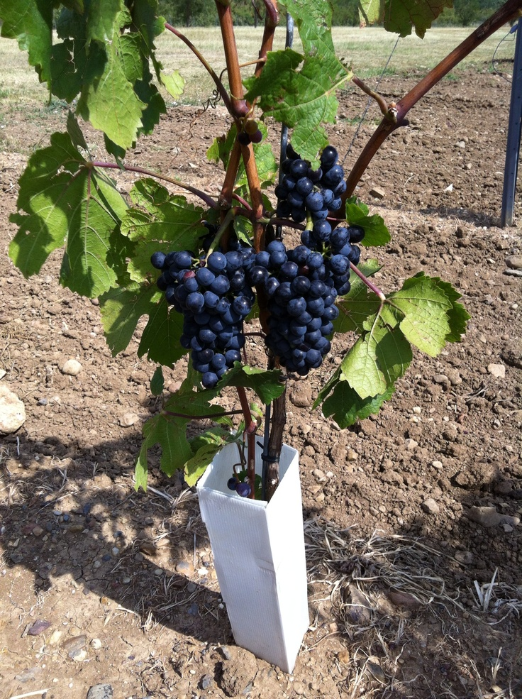 KNW Pinot Noir, couple of weeks before harvest!