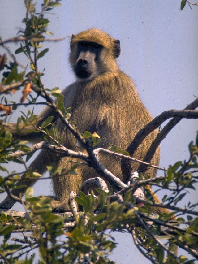 17 best images about primates singes on pinterest africa principal and zoos - Babouin et belette ...