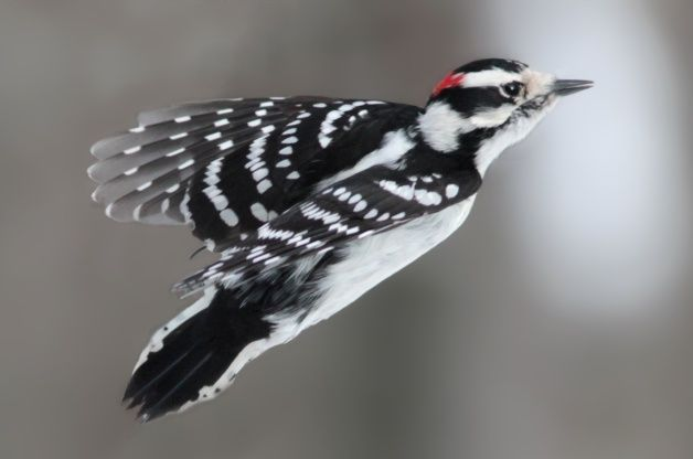 Downy Woodpecker | Attracting Birds - Birds and Blooms