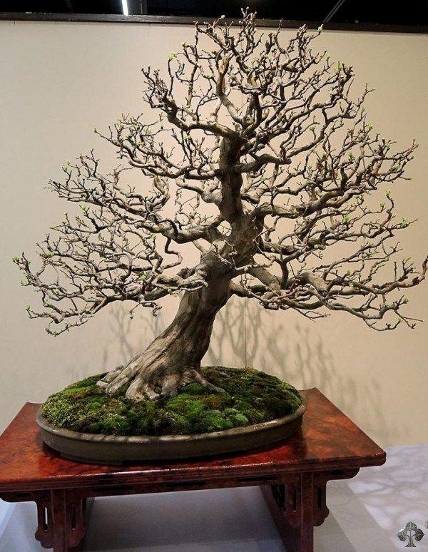 520 besten bonsai bilder auf pinterest bonsai pflanzen und baumgarten. Black Bedroom Furniture Sets. Home Design Ideas