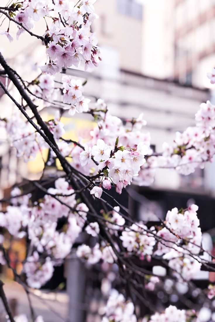 Pin On Cherry Blossom Iphone Wallpapers Hd