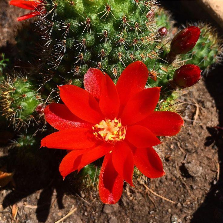В течении нескольких дней подходила к кактусам утром и вечером, дабы не прошляпить цветение. И урааа!!! Дождалась!!! Зовут ребуция. Отчество спросите! По мне это изящноцветковая ( rebutia draciliflora) Могу ошибаться, поэтому прошу помощи заграничной подружайки @vera_khon . У неё этого добра ...... ________________________________________________________Flowers of a prickly plant always delight!!!!____________________ #succulentplants #chromecactus #cactusclub#cactuscountry #cactuslover…