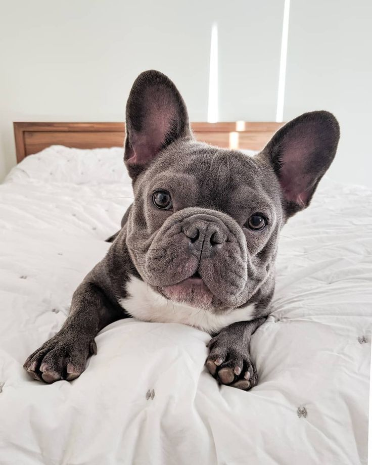 Cutie Little Frenchie Cute Baby Animals Cute Animals French Bulldog Puppies