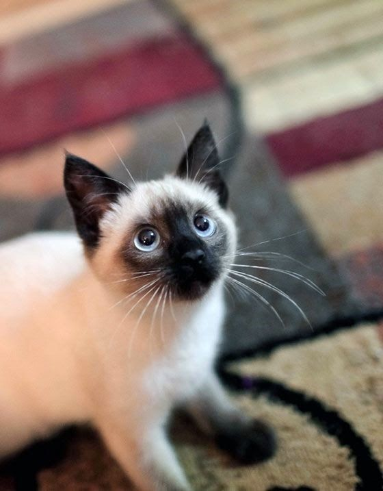 Siamese kitten - are vocal and demanding, capable of conveying its wants in a range from mews to loud raspy calls. Their vocalization sounds like human baby cries. Curious, affectionate and athletic. Tend to share your pillow at bedtime. (Mine always did)