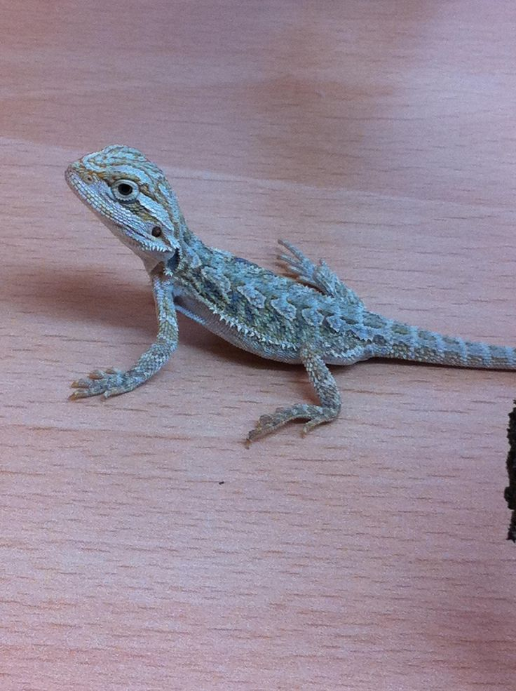 green and blue bearded dragon
