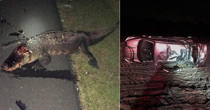 Многодетная мать чудом не пострадала во время столкновения с аллигатором на трассештата Флорида, США.