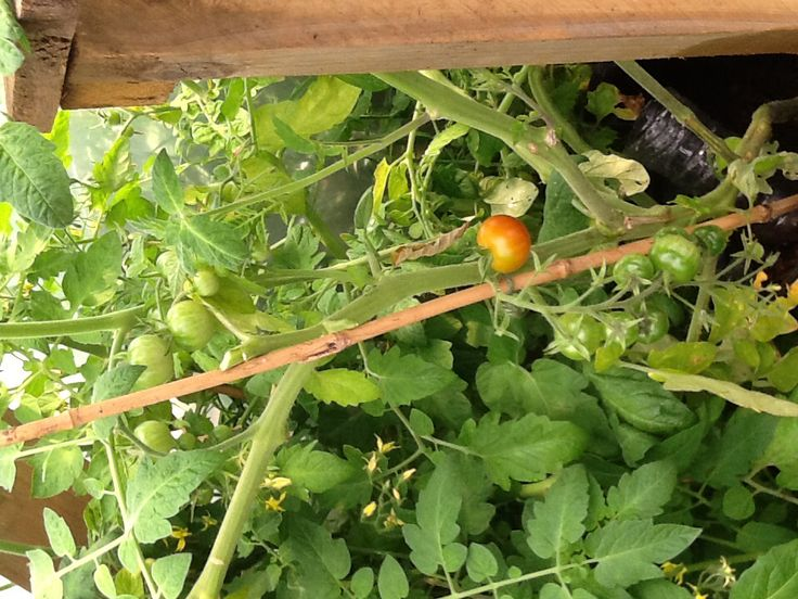 18th 1st ripening tomatoes