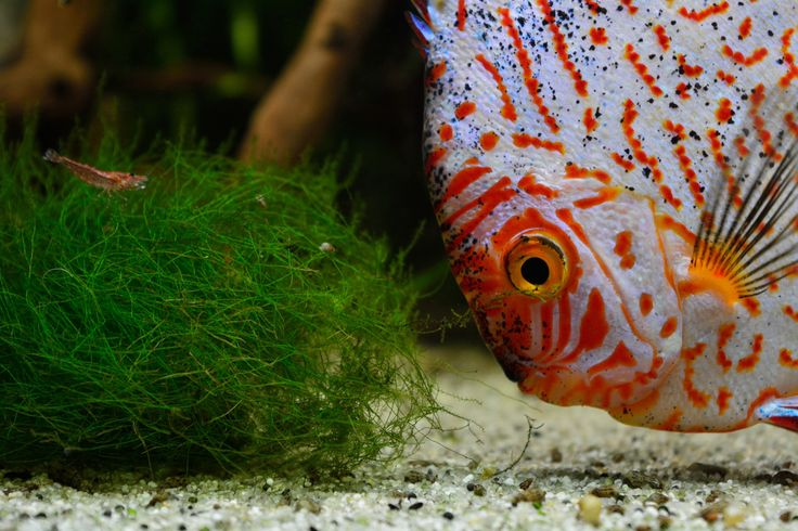 1000 images about fish discus on pinterest cichlids for Discus fish for sale near me