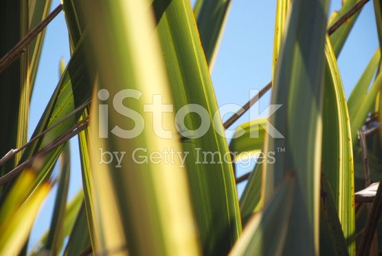 Phormium 'Yellow Wave', New Zealand Flax royalty-free stock photo