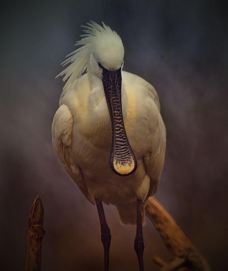 83 Best Ibis Spoonbills Images On Pinterest